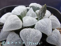 粉雪 南アフリカ -Plants-