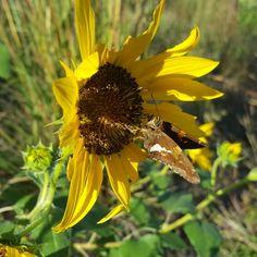 A butterfly makes a pit stop on a flower alongside I-80 near Lincoln, NE recently.