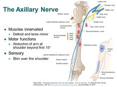 Image from http://accessphysiotherapy.mhmedical.com/data/Multimedia/grandRounds/brachial/media/SlideImages/Burke-Doe%20L7%20Slide07.JPG.