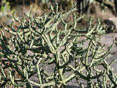 Cylindropuntia arbuscula - Arizona Pencil Cholla