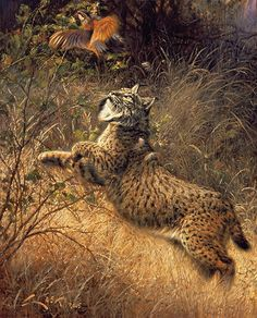 By a feathers. Iberian Lynx and red-legged partridge (Lynx pardina) & (Alectoris rufa)