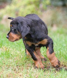 Gordon Setter puppy