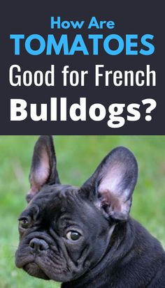 Fruits and vegetables can be an excellent addition to any dog's diet. French bulldogs are one of the happier breeds that can significantly benefit from a well-balanced diet. Most fruits and vegetables are ok for pets, but what about tomatoes? Best Dog Food, French Bulldogs, Balanced Diet, Dog Treats, Tomatoes, Dog Food Recipes, Benefit, Vegetables, Pets