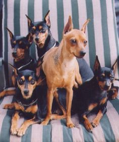 Miniature pinscher's