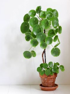pilea peperomioide entretien boutures Chinese Money Plant, Home Dept Lots of sun