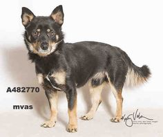 ADOPT ME DURING THE EVENT MARCH 13-15th SNICKERS #A482770 (Moreno Valley CA) Male tricolor and white Rat Terrier mix. The shelter thinks I am about 2 years. I have been at the shelter since Mar 06 2018 and I may be available for adoption on Mar 13 2018 at 10:26AM.  http://ift.tt/2p9KdBr  Moreno Valley Animal Shelter 14041 Elsworth Street Moreno Valley CA 951-413-3790 GENERAL INFO: Animalshelter@moval.org RESCUES EMAIL: rescue@moval.org Open Tuesday -Saturday (closed Sunday Monday & holidays)…