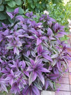 Persian shield.  Changes color depth depending on how much sun it gets. Love it!! Great complementary  plant next to a flower...maybe coreopsis?
