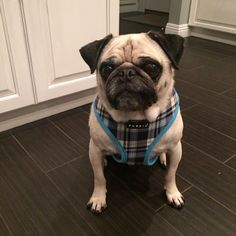 Puppia Spring Blue harness at www.ilovepugs.co.uk  posted worldwide