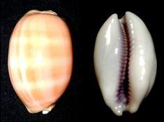 Lyncina carneola (Linnaeus, 1758) - Pemba, Mozambique