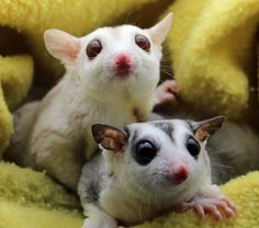 Meet Apollo and Magpie, one of our special pairs of sugar gliders who have just had their first joey here at NH Sugar Gliders.
