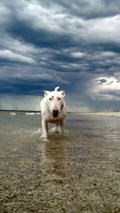 Taking a stroll...#Bull #Terrier