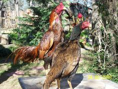 KING GHAZI: Brazilian Asil Chicken Roost, Pigeon Pictures, Chicken Breeds, Picture Description, Cat Breeds, Rooster, Dog Cat, Animals, King
