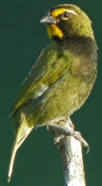 Yellow-faced Grassquit : Pictures.