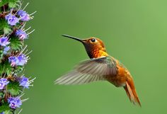 Hummingbird - PhotoClassical.com