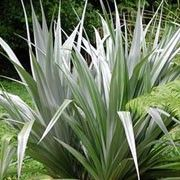 Astelia chathamica 'Silver Spear' (Silver spear 'Silver Spear' )