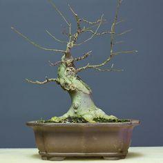 Hackberry bonsai basic branch structure