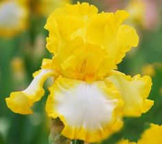 How to Plant and Care for Irises.