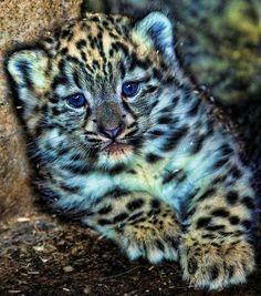 Twitter / HypeScience: Filhote de leopardo da neve ...