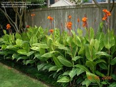 Good summer plant in zones Orange-flowered Variegated Canna Lily 'Pretoria' - native to tropical and subtropical regions of the New World, from the southern United States (southern South Carolina west to southern Texas) and south to northern Argentina Backyard Pool Landscaping, Tropical Landscaping, Landscaping Plants, Front Yard Landscaping, Canna Lily Landscaping, South Texas Landscaping, Landscaping Ideas, Luxury Landscaping, Landscaping Company