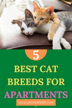 Looking for the best cats for apartments? Here are our favorite recommendations that make living in an apartment a great option. | Cats for Apartments | Apartment Cats | Most Popular Cat Breeds, Best Cat Breeds, American Shorthair, British Shorthair, Pet Care Tips, Pet Tips, Cat Apartment, Different Types Of Cats, Healthy Pets