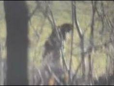 Clear Video Connecticut Bigfoot | Bigfoot NOW!