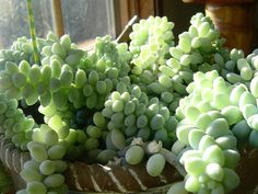 donkey's tail. list of the ten best succulents!