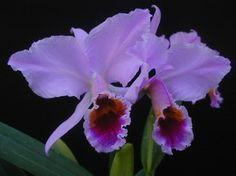 orquidea violetas
