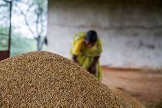 Miracle grow: Indian farmers smash crop yield records without GMOs - Gorita, Andhra Pradesh, India.
