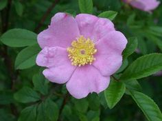 G2Garden's Swamp Rose will attract songbirds & butterflies, while resistant to being gobbled up by rabbits and deer.