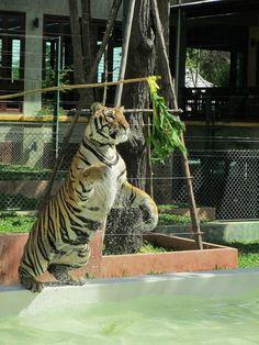 Photos of Tiger Kingdom