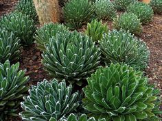 Cold-Hardy Succulents (Agave victoriae-reginae)