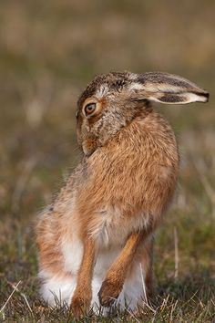 Hare by dave blackwell - Photo 30680907 / Hare Pictures, Cute Animal Pictures, Beautiful Creatures, Animals Beautiful, Animals And Pets, Cute Animals, Rabbit Sculpture, Photo Animaliere, Jack Rabbit