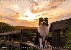 Australian Shepherd - Lebensfreude auf vier Pfoten - CALVENDO Kalender von Miriam Nozulak
