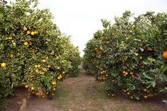 Naranjas Lola: las ricas naranjas de primavera Navel Lane Late - https://www.conmuchagula.com/naranjas-lola-las-ricas-naranjas-de-primavera-navel-lane-late/?utm_source=PN&utm_medium=Pinterest+CMG&utm_campaign=SNAP%2Bfrom%2BCon+Mucha+Gula