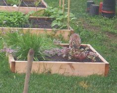 A rabbit eats vegetables from the garden