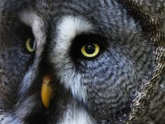 Great Grey Owl or Lapland Owl by hans s, via Flickr