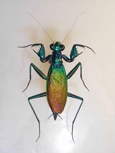 Mantis metálica (Metallyticus splendidus)