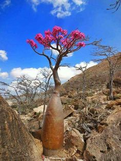 Socotra in Yemen Succulent Bonsai, Cacti And Succulents, Unusual Plants, Exotic Plants, Trees And Shrubs, Trees To Plant, Weird Trees, Desert Rose Plant, Socotra