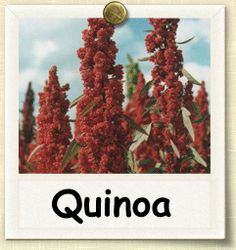 Quinoa is a crop with very famous history. On the Peruvian-Bolivian alpine plain it has been grown for ages together with corn and beans as a staple food of ancient Incans. Quinoa, in language of Incans, means 'mother of cereals'. Organic Gardening Tips, Organic Farming, Edible Plants, Edible Garden, Growing Quinoa, Vegetable Garden, Garden Plants, Quinoa Nutrition, Pantanal