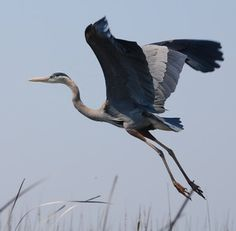 Great blue heron.  Usually in the Glades, but once in awhile you can see one on the beach ---- what a treat!