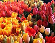 Színes tulipán virágok Rózsaszín Nature piros sárga háttér Képek