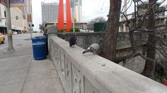 Pigeons along the Riverwalk are aggressive..