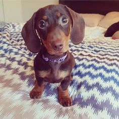 The Diverse Dachshund Breed - Champion Dogs Dachshund Funny, Dachshund Breed, Dapple Dachshund, Long Haired Dachshund, Dachshund Love, Daschund, Best Apartment Dogs, Miniature Dachshunds, Miniature Schnauzer