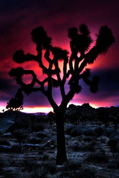 Joshua Tree Sunset - Red, Purple, Pink, Desert, Silhouette - Fine Art Photography - California, 8x12