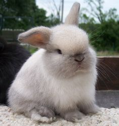 sable point holland lop.. i want