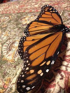 """""""Monarch Butterfly Right Side"""" photo by Allison Britten"""