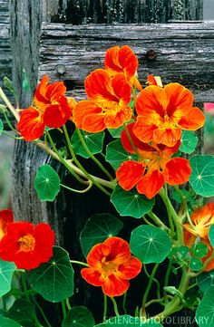 Nasturtium ~ edible flowers - my mom use to grow these in her flower garden Orange Flowers, Wild Flowers, Beautiful Flowers, Beautiful Things, Flowers Uk, My Secret Garden, Edible Flowers, Edible Plants, Baskets On Wall