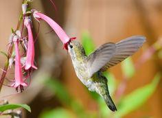Muchas especies de colibries tienen una relación exclusiva con determinadas especies de flores. De esta manera las flores se aseguran que todo el polen que lleva el colibrí sea útil para ellas