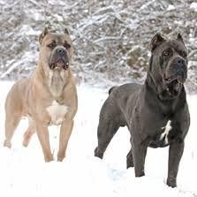 Image Result For Cane Corso Cane Corso Cane Corso Puppies