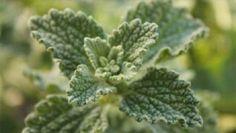 Esta planta cura de forma quase imediata o Fígado e a Vesícula e desinflama o intestino! | Receitas Para Todos os Gostos